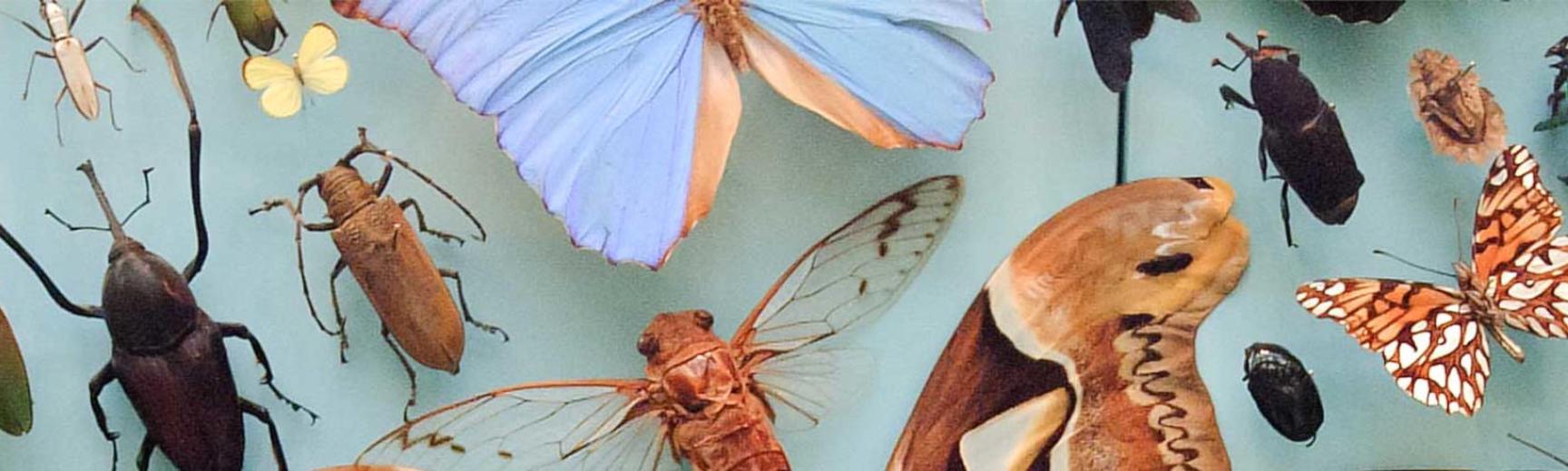 OUMNH butterflies