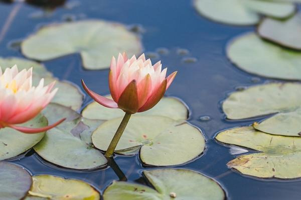 Botanic Garden waterlilies