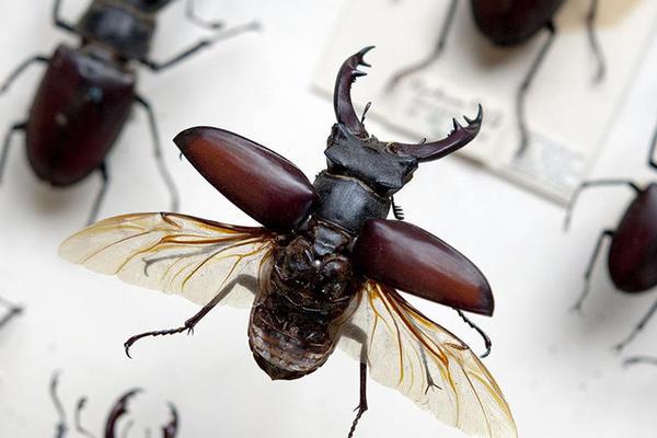 Stag Beetle specimen