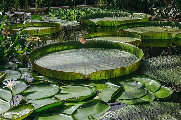 Water lilies at the Botanic Garden