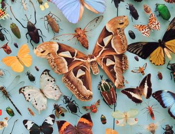 Butterfly and moth display, Museum of Natural History