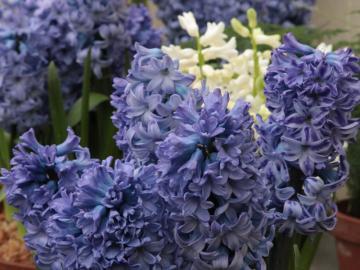 Hyacinth from the Botanic Garden