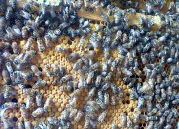 Hive of Honey Bees (close up)