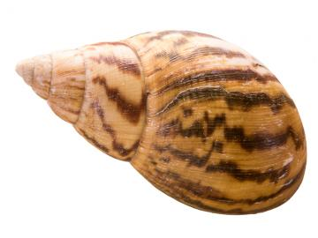 Giant African Land Snail shell