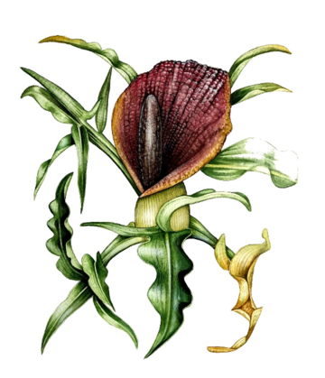 Drawing of a red flower-like plant surrounded by green leaves