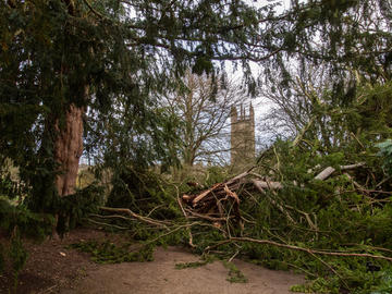 Bobart's yew after storm damage, February 2020